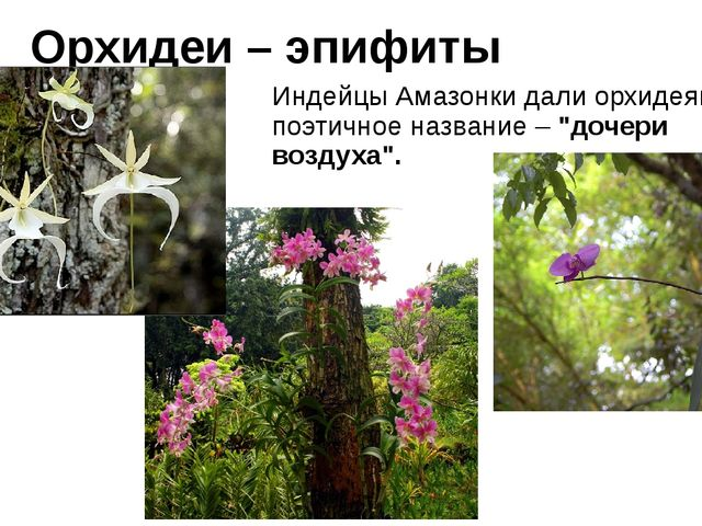 """Орхидеи – эпифиты Индейцы Амазонки дали орхидеям поэтичное название – """"дочери..."""