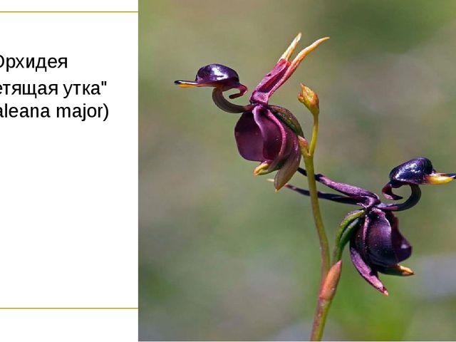 """Орхидея """"Летящая утка"""" (Caleana major)"""
