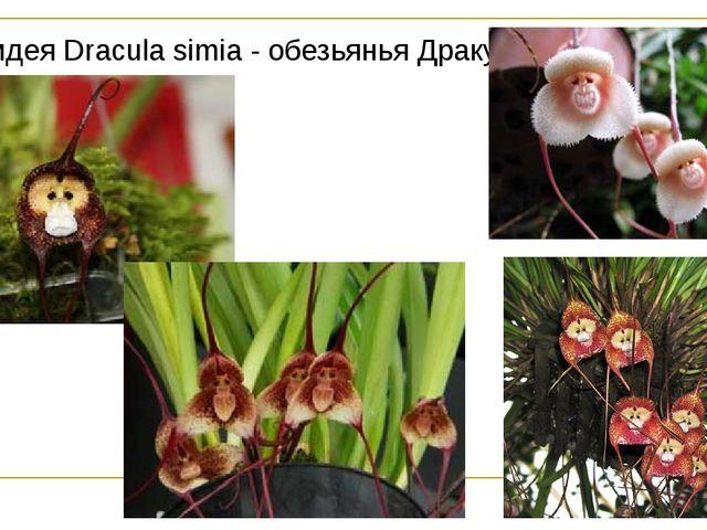 Орхидея Dracula simia - обезьянья Дракула