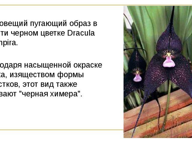 Зловещий пугающий образ в почти черном цветке Dracula vampira. Благодаря нас...
