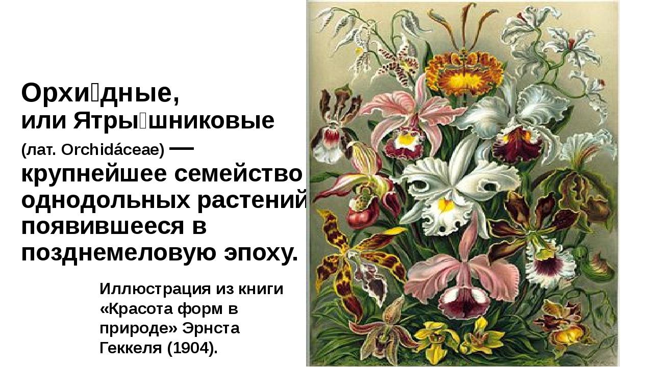 Орхи́дные, или Ятры́шниковые (лат. Orchidáceae) — крупнейшее семейство однодо...
