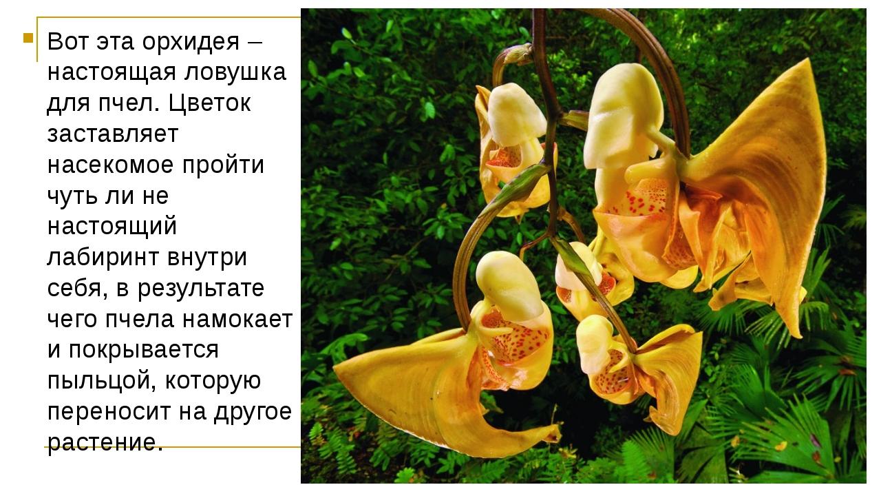 Вот эта орхидея – настоящая ловушка для пчел. Цветок заставляет насекомое про...