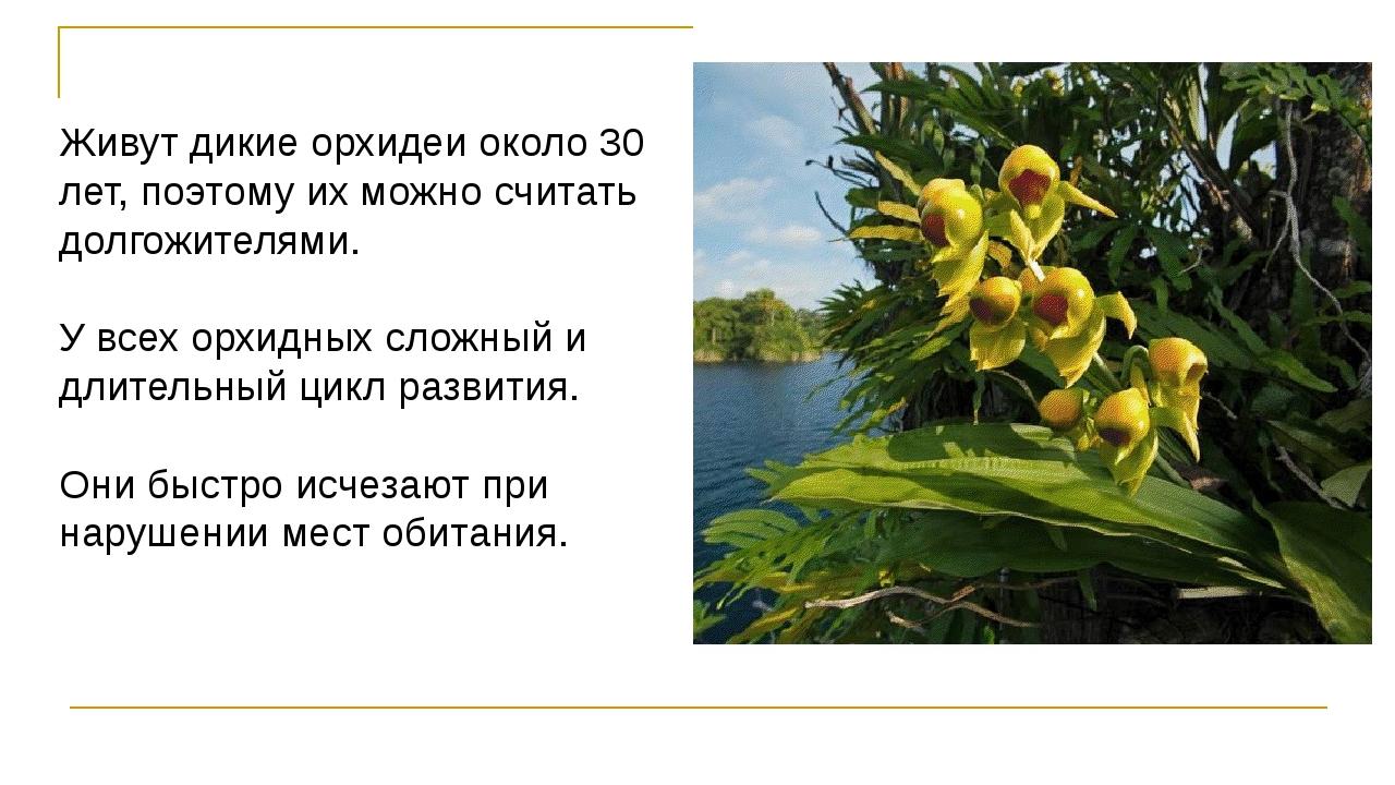 Живут дикие орхидеи около 30 лет, поэтому их можно считать долгожителями. У в...