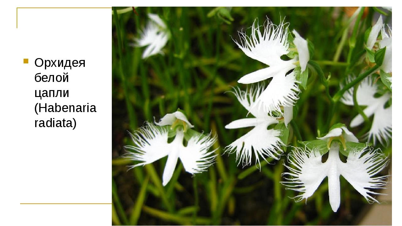 Орхидея белой цапли (Habenaria radiata)