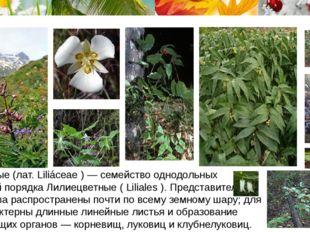 Лиле́йные (лат. Liliáceae ) — семейство однодольных растений порядка Лилиецв