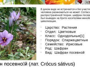 Шафра́н посевно́й (лат. Crócus sátivus) В диком виде не встречается и без уча