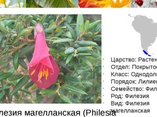 Филезия магелланская (Philesia magellanica) Царство: Растения Отдел: Покрытос