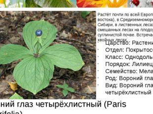 Вороний глаз четырёхлистный (Paris quadrifolia) Растёт почти по всей Европе (