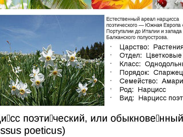 Нарци́сс поэти́ческий, или обыкнове́нный (лат. Narcissus poeticus) Естественн...