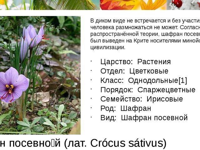 Шафра́н посевно́й (лат. Crócus sátivus) В диком виде не встречается и без уча...