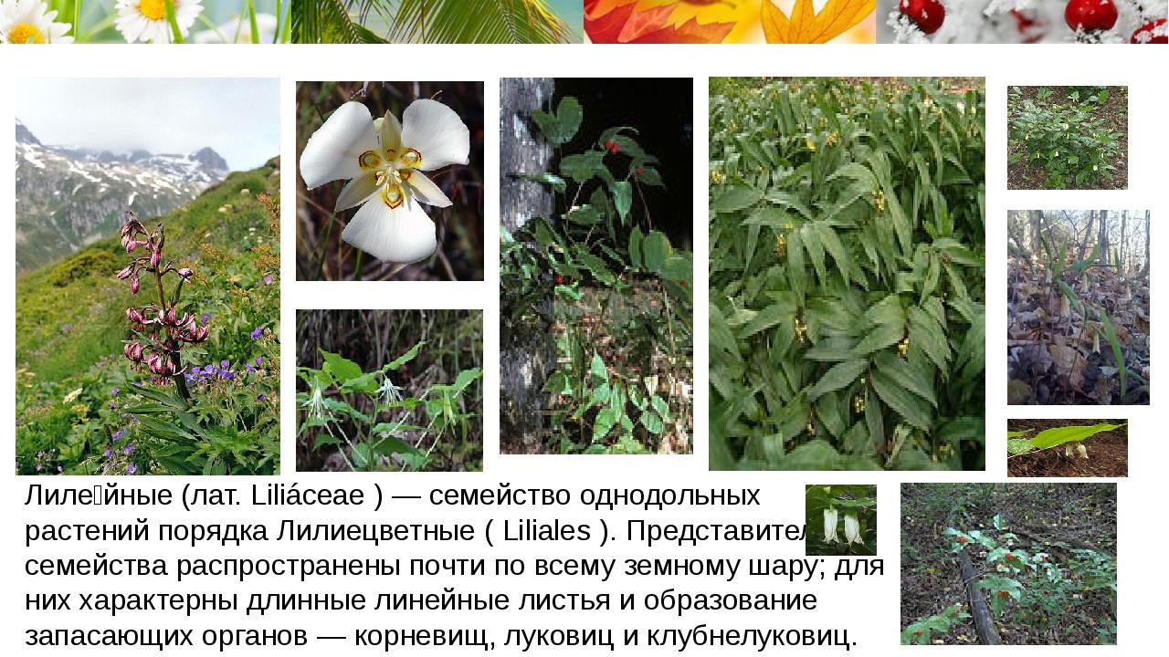 Лиле́йные (лат. Liliáceae ) — семейство однодольных растений порядка Лилиецв...