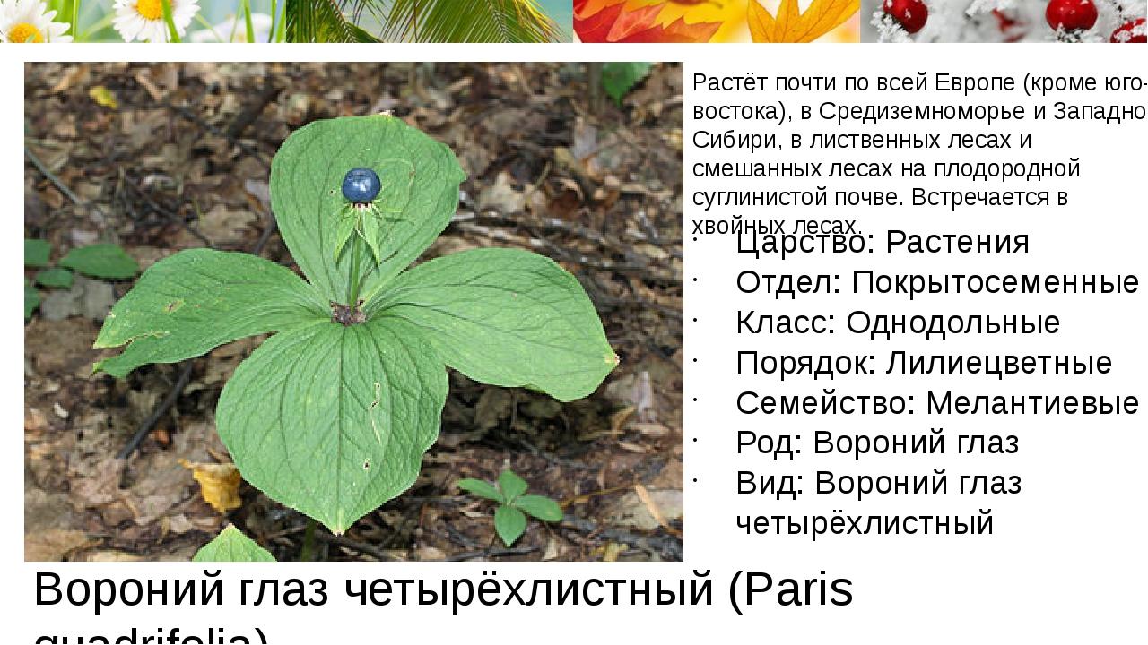 Вороний глаз четырёхлистный (Paris quadrifolia) Растёт почти по всей Европе (...