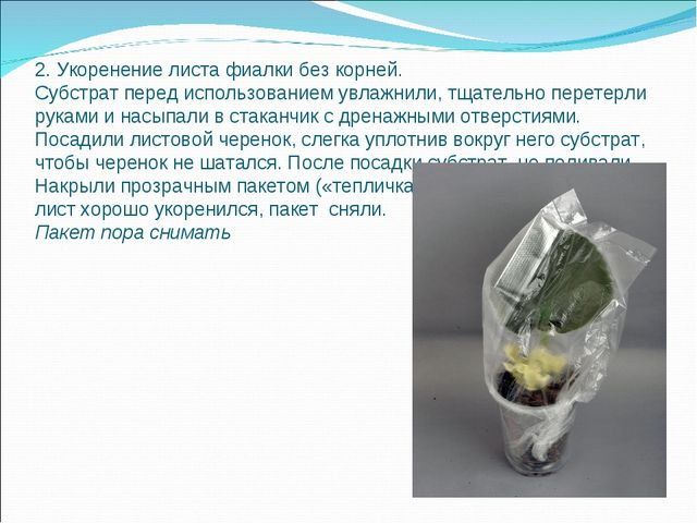 2. Укоренение листа фиалки без корней. Субстрат перед использованием увлажнил...