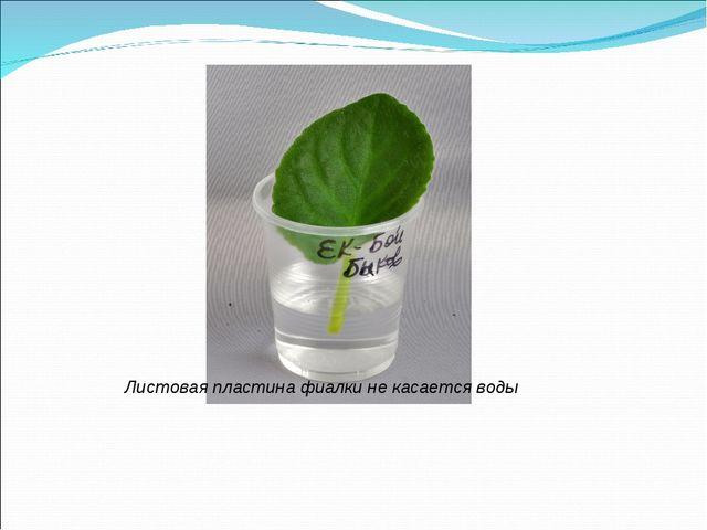 Листовая пластина фиалки не касается воды