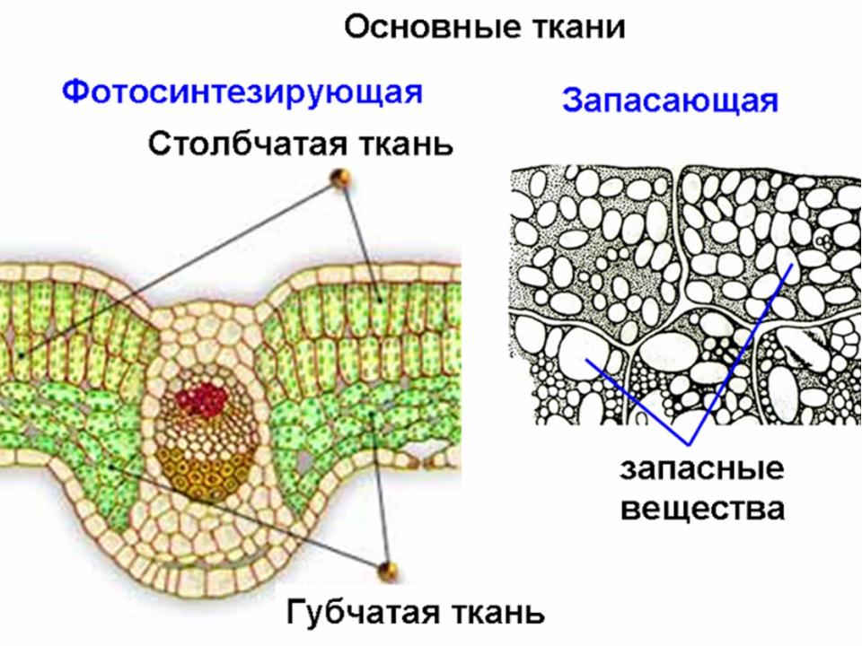 клетки основной ткани растений фото