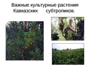 Важные культурные растения Кавказских субтропиков.