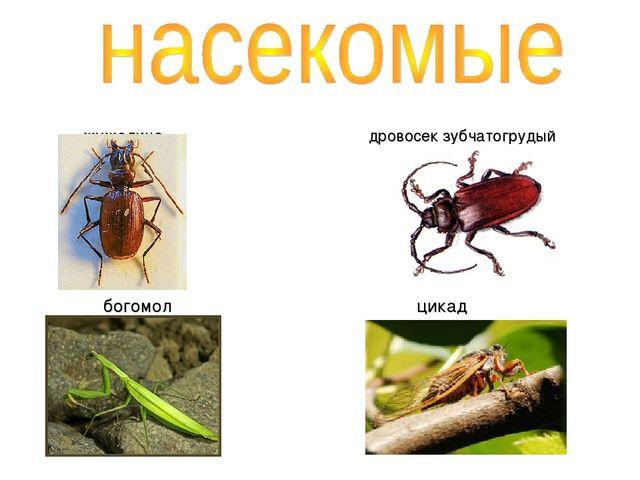жужелица дровосек зубчатогрудый богомол цикад