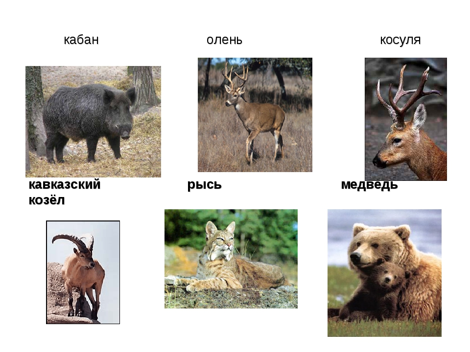 кабан олень косуля кавказский рысь медведь козёл