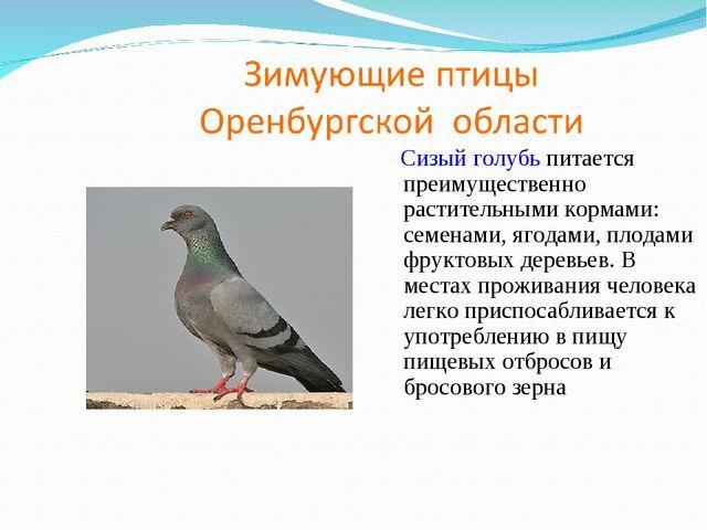 Сизый голубь питается преимущественно растительными кормами: семенами, ягода...