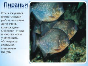 Эти, кажущиеся симпатичными рыбки, на самом деле очень кровожадны. Охотятся с