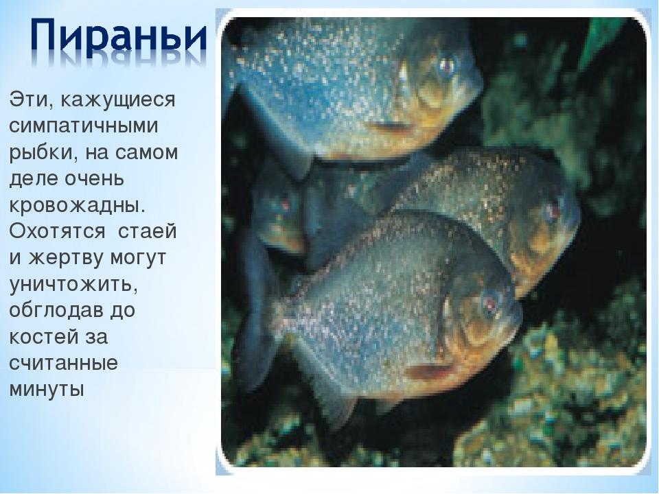 Эти, кажущиеся симпатичными рыбки, на самом деле очень кровожадны. Охотятся с...