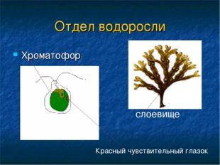 Отдел водоросли Хроматофор слоевище Красный чувствительный глазок