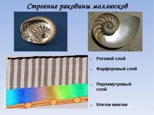 Строение раковины моллюсков Роговой слой Фарфоровый слой Перламутровый слой К