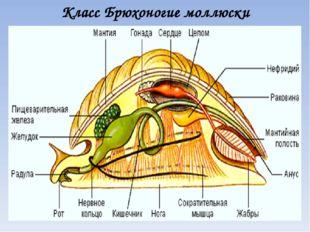 Класс Брюхоногие моллюски