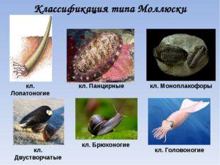 Классификация типа Моллюски кл. Лопатоногие кл. Брюхоногие кл. Двустворчатые