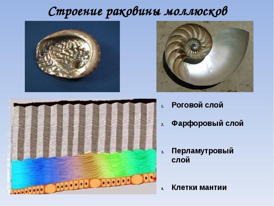 Строение раковины моллюсков Роговой слой Фарфоровый слой Перламутровый слой К...