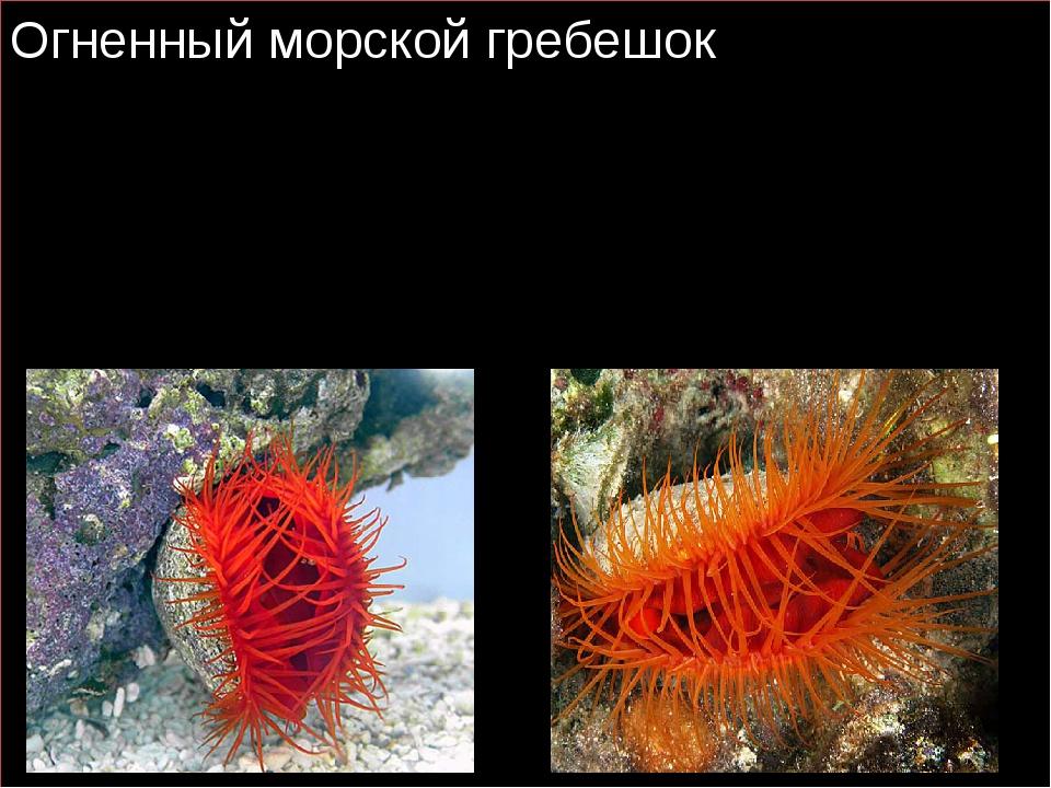 Огненный морской гребешок Огненный морской гребешок это двустворчатые моллюс...