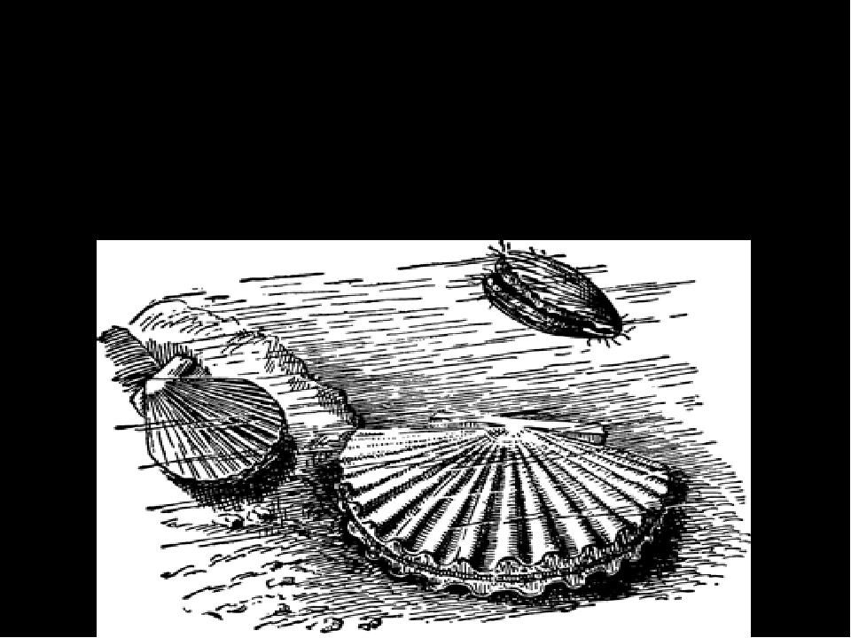 Передвижение морских гребешков Есть и подвижные двустворки –моллюск гребешок...