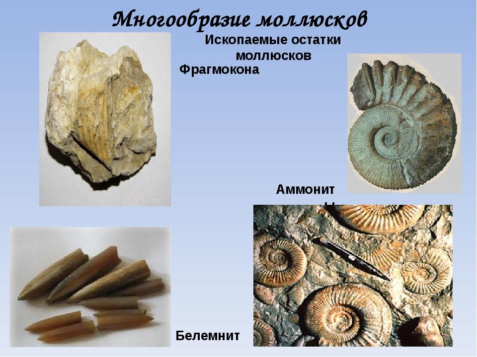 Многообразие моллюсков Ископаемые остатки моллюсков Аммониты Белемнит Фрагмок...