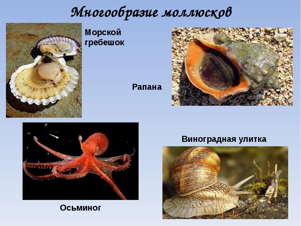 Многообразие моллюсков Морской гребешок Осьминог Виноградная улитка Рапана