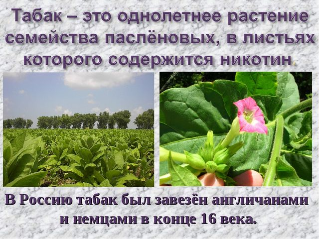 В Россию табак был завезён англичанами и немцами в конце 16 века.