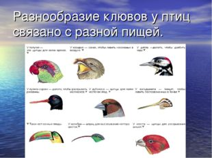 Разнообразие клювов у птиц связано с разной пищей.