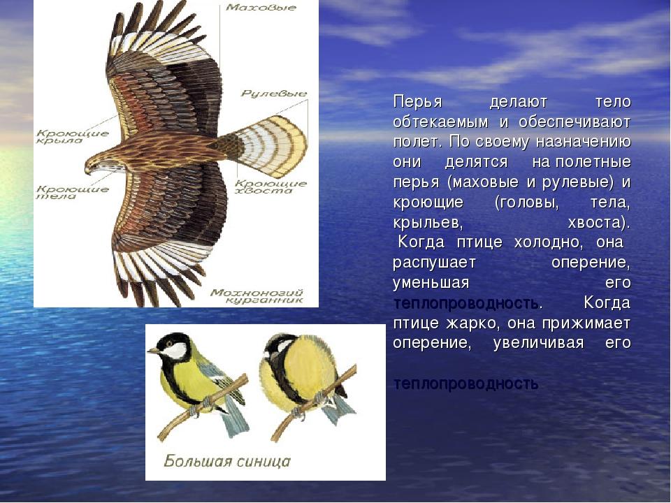 Перья делают тело обтекаемым и обеспечивают полет. По своему назначению они д...