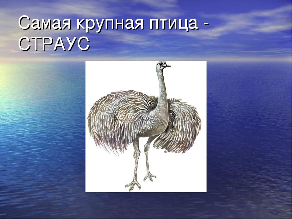 Самая крупная птица - СТРАУС