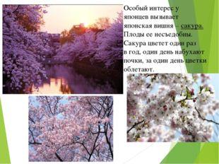 Особый интерес у японцев вызывает японская вишня – сакура. Плоды ее несъедобн