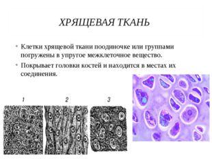 ХРЯЩЕВАЯ ТКАНЬ Клетки хрящевой ткани поодиночке или группами погружены в упру