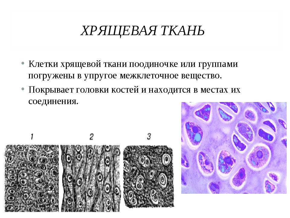 ХРЯЩЕВАЯ ТКАНЬ Клетки хрящевой ткани поодиночке или группами погружены в упру...