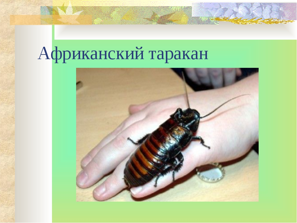 Африканский таракан