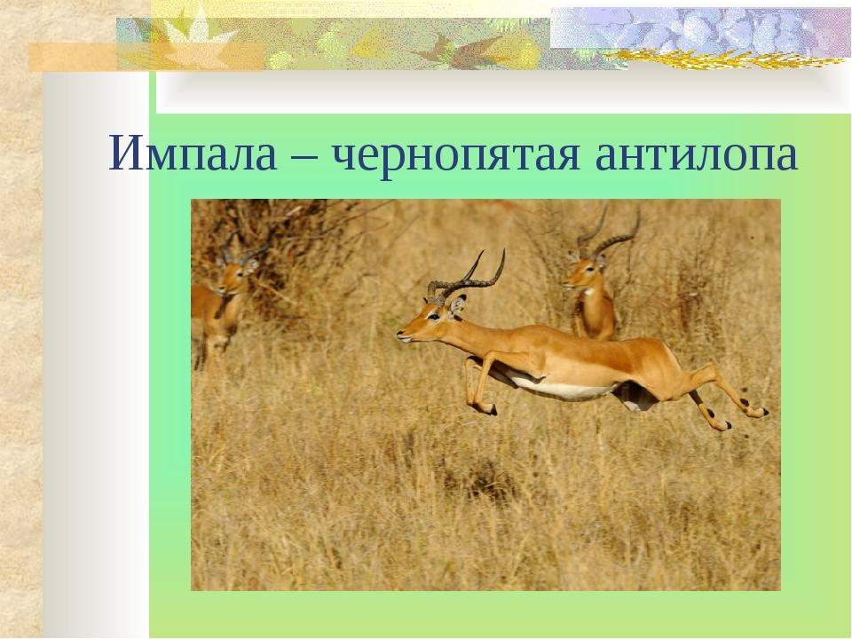 Импала – чернопятая антилопа