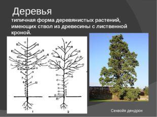 Деревья типичная форма деревянистых растений, имеющих ствол из древесины с ли