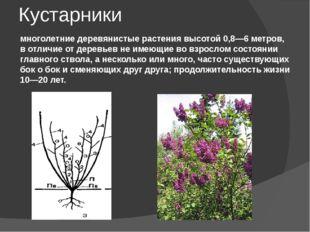 Кустарники многолетние деревянистые растения высотой 0,8—6 метров, в отличие