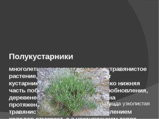Полукустарники многолетнее полудревесное-полутравянистое растение, у которог