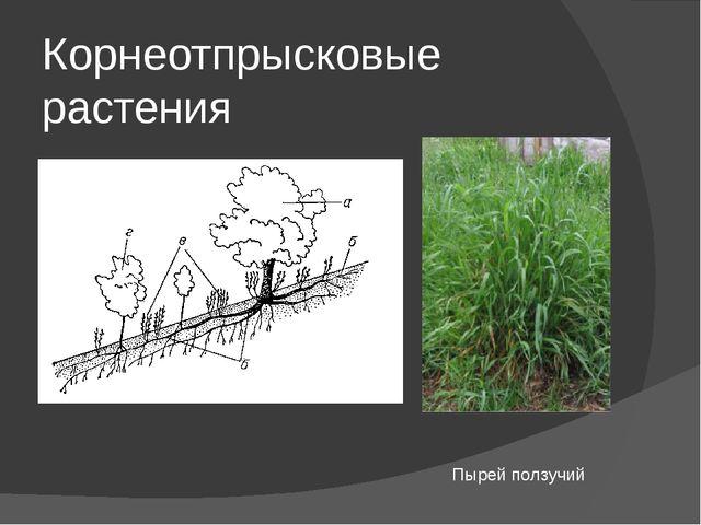 Корнеотпрысковые растения Пырей ползучий