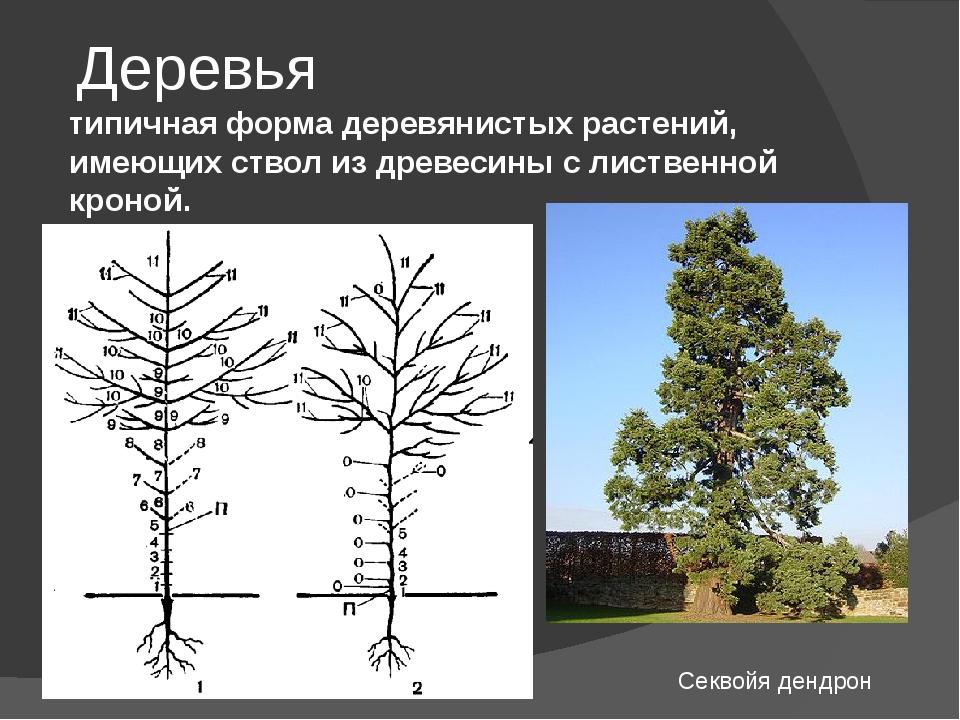 Деревья типичная форма деревянистых растений, имеющих ствол из древесины с ли...