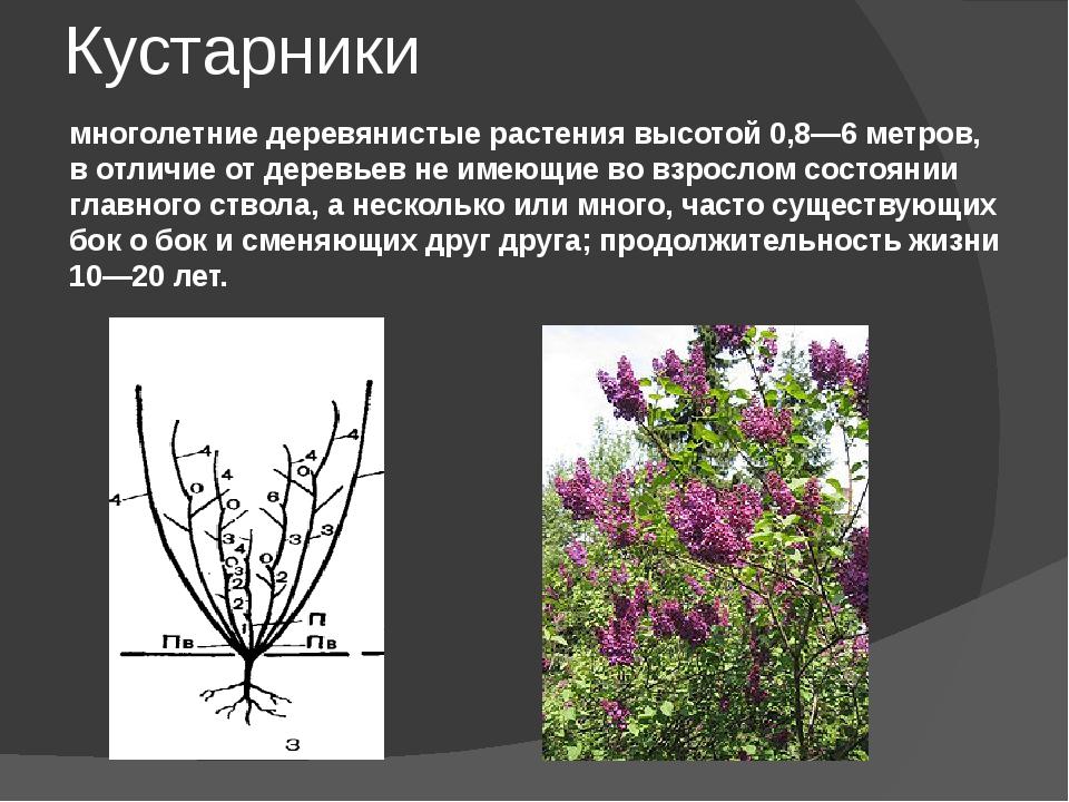 Кустарники многолетние деревянистые растения высотой 0,8—6 метров, в отличие...
