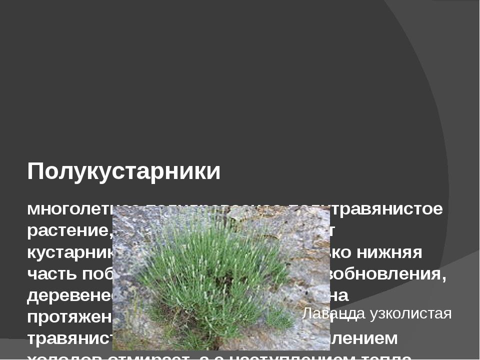 Полукустарники многолетнее полудревесное-полутравянистое растение, у которог...